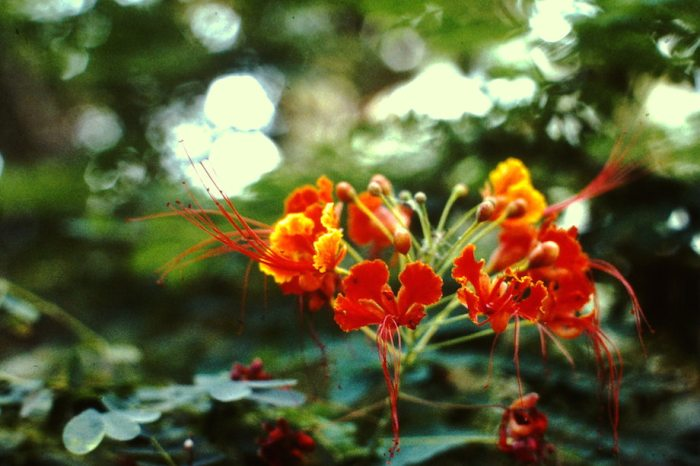 Rode bloem.